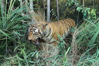 Mounted Royal Bengal Tiger