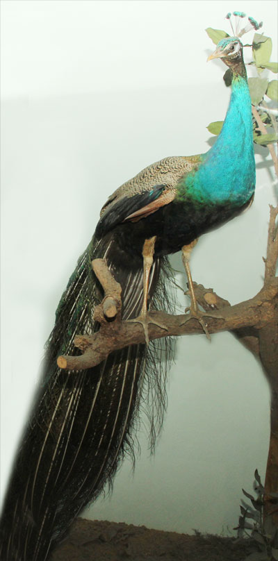 Mounted Male Green Peafowl