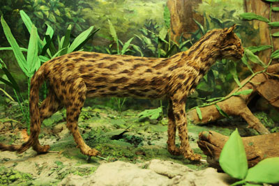Mounted Leopard Cat
